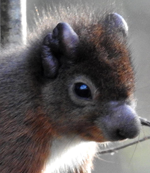 Leprosy Red Squirrel