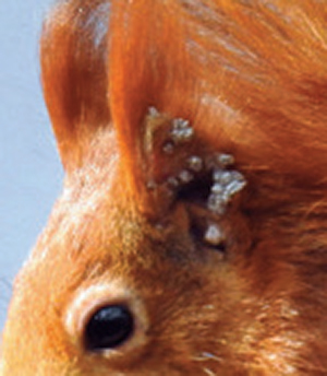 Leprosy in Red Squirrels